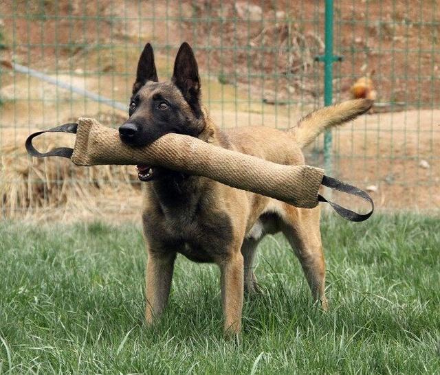 多功能的犬種——比利時馬犬 - 每日頭條