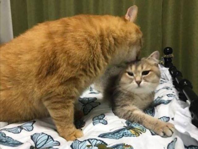 貓咪舌頭長「倒刺」,把隔壁貓舔「禿了」,被貓舔對人有危害嗎? - 每日頭條