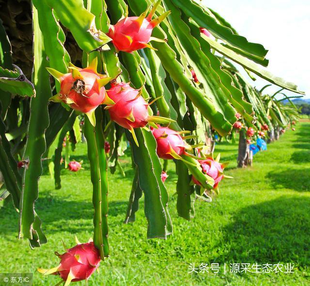 種植盆栽火龍果、木瓜技術。富貴又好吃 - 每日頭條