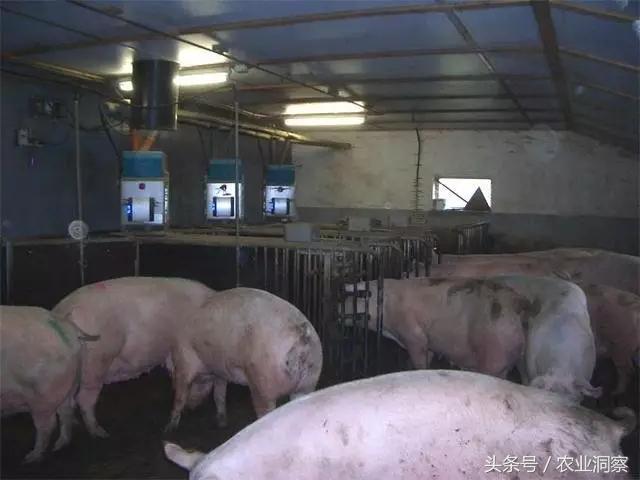 夫妻2人養一萬頭豬!自動化產房!這個荷蘭農場怎麼做到的? - 每日頭條