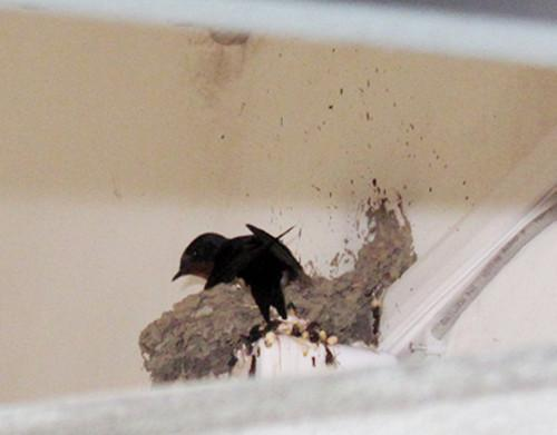 農村家家戶戶都有燕子築窩。為什麼不趕走 - 每日頭條