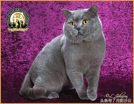 世界上最大貓和大型品種貓介紹 - 每日頭條