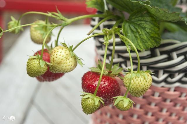 陽臺種植草莓詳細步驟。讓您家小朋友隨時都有草莓吃! - 每日頭條