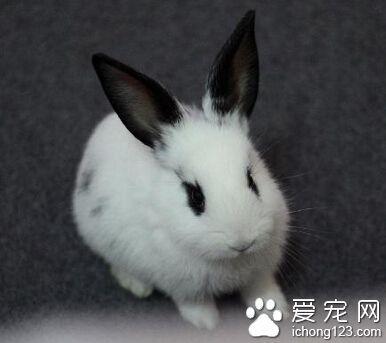 熊貓兔怎麼養 兔子不能長期只食用蔬菜 - 每日頭條