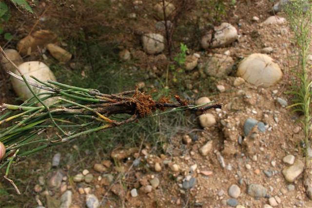 這種長在荒山上的野草。外表像人骨節嚇人。卻有活血化瘀接骨功效 - 每日頭條
