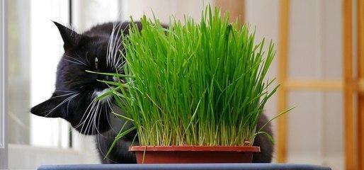 怎麼餵貓咪吃貓草才是最合理的方法 - 每日頭條