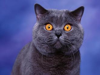 英國短毛貓。性格甜美可人。親近人類 - 每日頭條