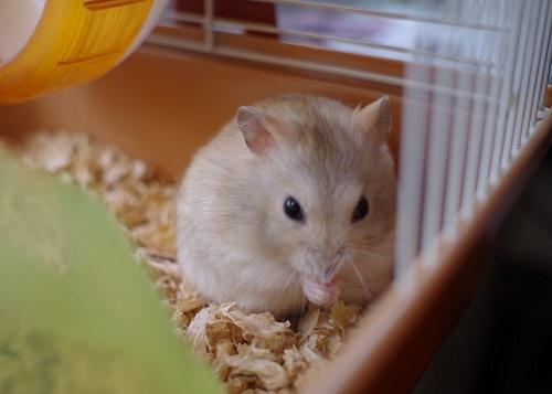 倉鼠愛乾淨! 怎麼讓倉鼠在指定地點尿尿? - 每日頭條