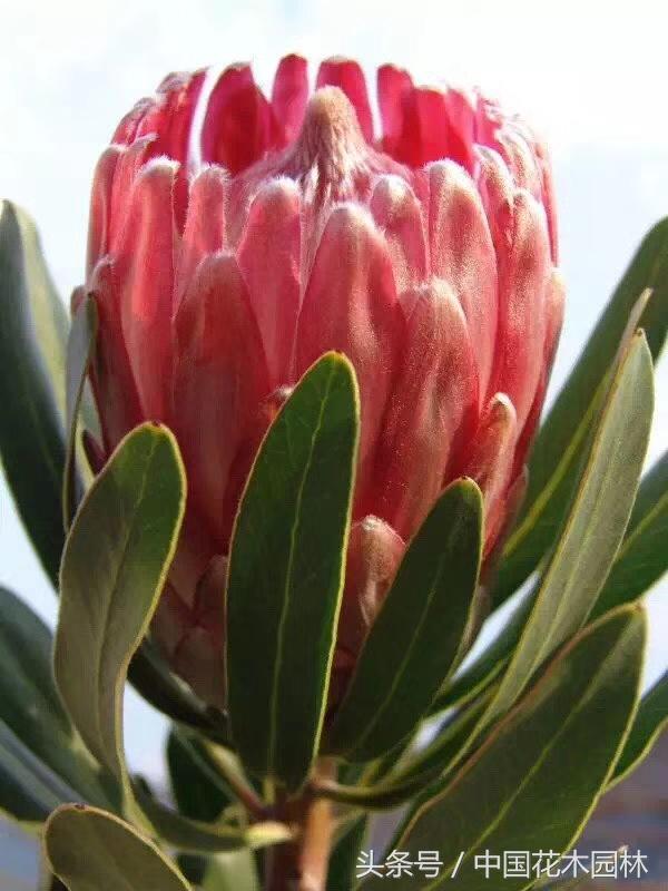 雲南量產南半球木本花卉奪人眼球 - 每日頭條