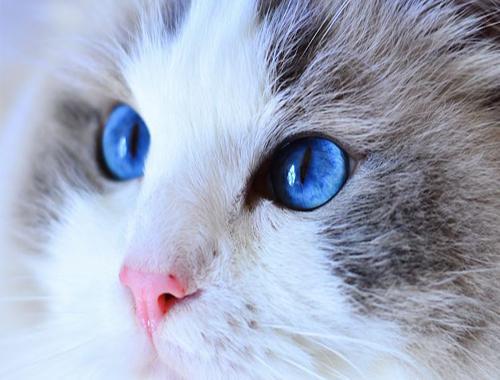 「布偶貓」你家的布偶貓有海洋一般的眼睛麼 價格貴麼 - 每日頭條