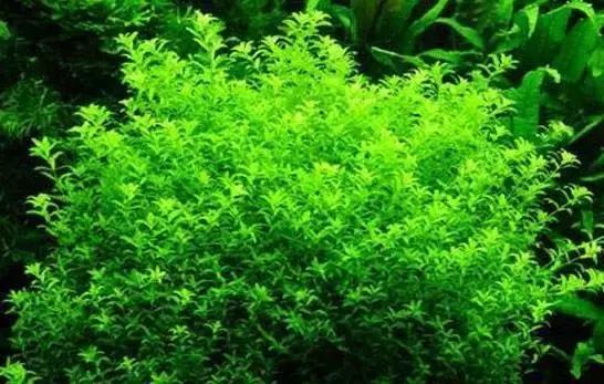 給大家推薦一些好養殖的水草 - 每日頭條