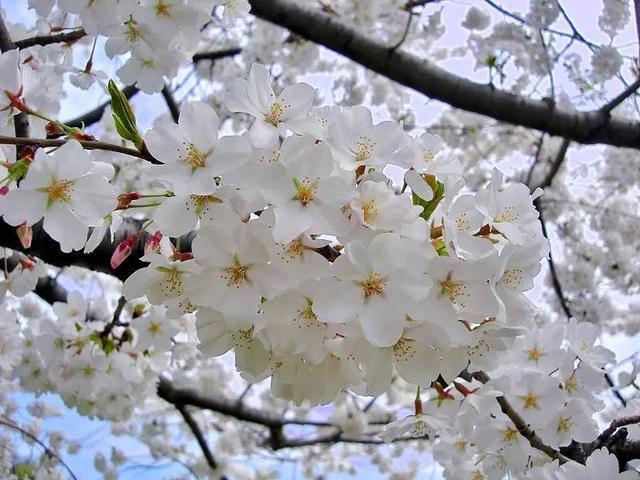 櫻花和櫻桃~櫻桃是櫻花結的果嗎? - 每日頭條