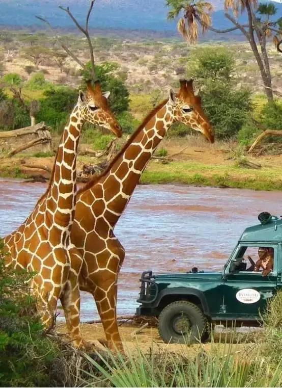 肯亞動物大遷徙。一生要見證一次的奇蹟 - 每日頭條