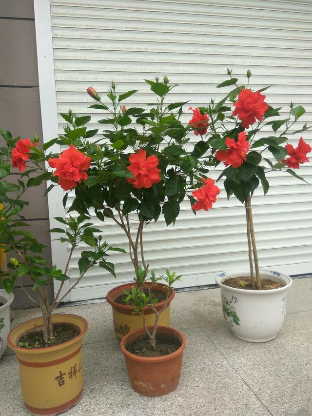 花期最長的植物,全年都開花,花美若牡丹,栽培容易,是盆栽佳品 - 每日頭條