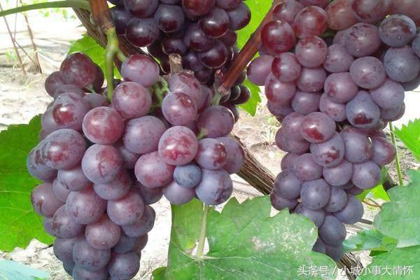 號稱全中國最好吃的七種葡萄。尤其是第三種有很多人都沒吃過! - 每日頭條