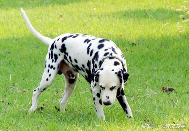 聰明伶俐比賽犬。斑點隨成長改變為特有標誌。好色的大麥町犬 - 每日頭條