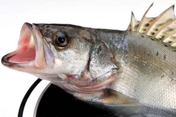 2018鱸魚價格多少錢一斤?養殖前景和成本利潤如何?怎麼選購? - 每日頭條