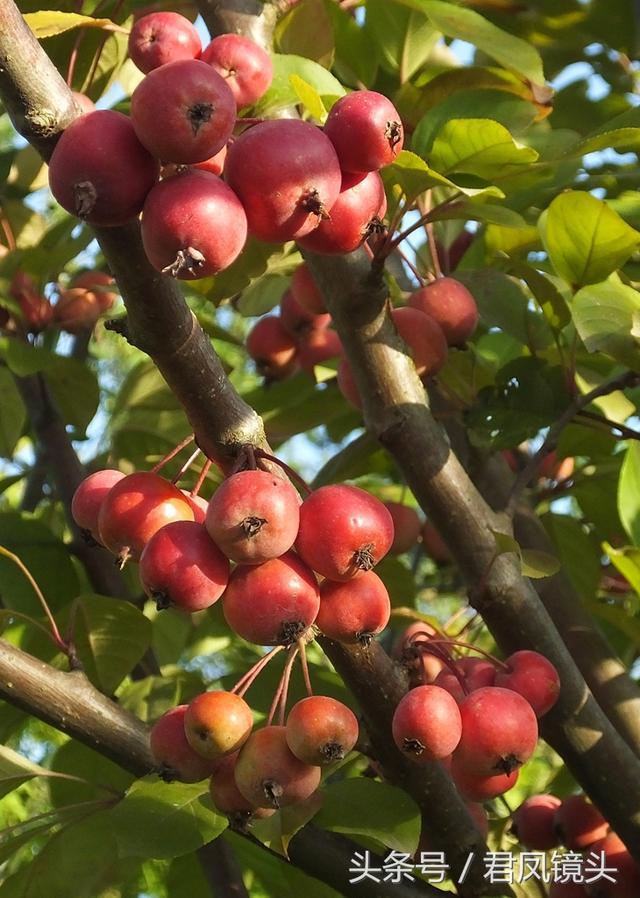這種像紅寶石的果子是啥?它長在公園裡和綠化帶的海棠樹上 ...