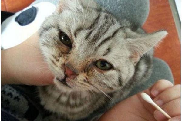 貓咪淚痕重怎麼辦。了解四大原因對癥下藥減輕淚痕 - 每日頭條