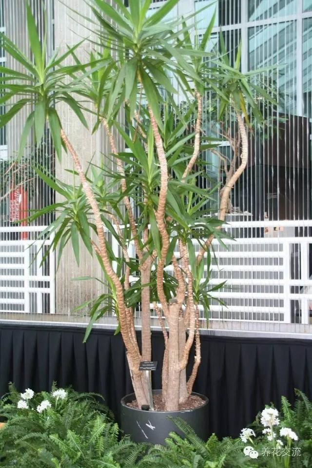 絲蘭常被誤認為是劍蘭,其實我們都認錯植物了 - 每日頭條