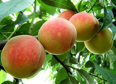 吃桃子有什麼好處?桃子的功效與作用 - 每日頭條