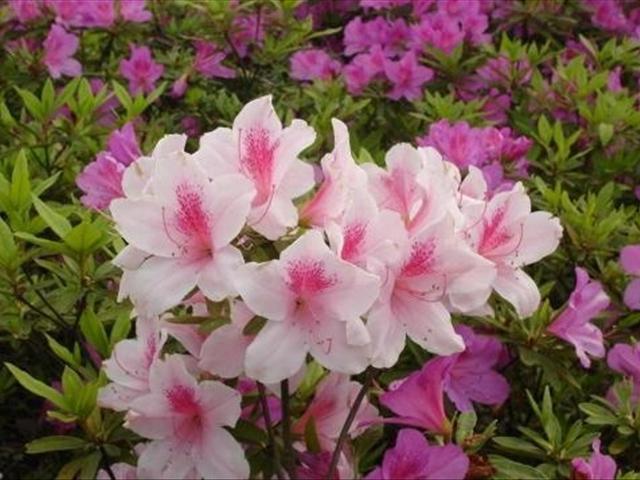 我們在家該如何養殖杜鵑花?怎麼養殖杜鵑花才能讓它爆盆 - 每日頭條