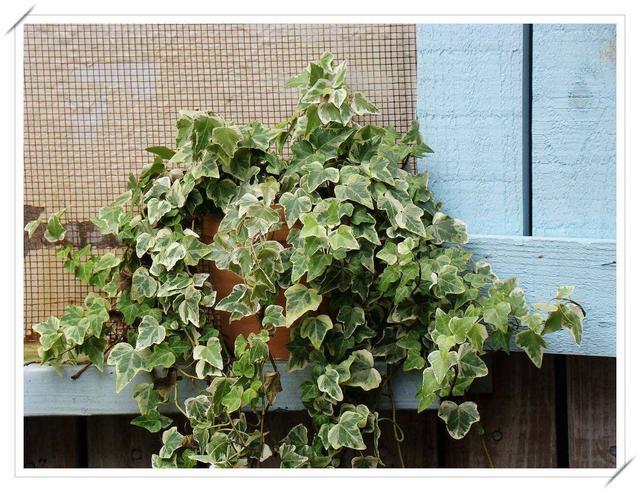 家裡有人吸菸。可以種植常春藤。凈化空氣。減少二手菸的傷害 - 每日頭條