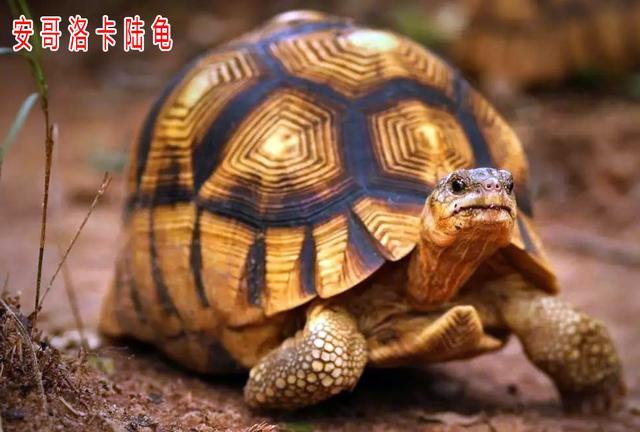 你要的陸龜。都在這兒啦!(史上最全陸龜品種解析) - 每日頭條