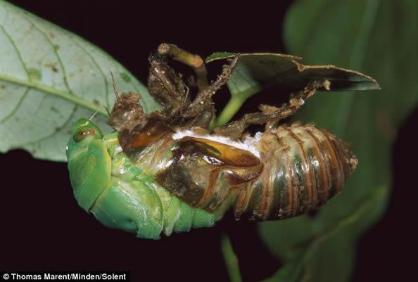 蟬幼蟲到成蟲的驚人的變身過程 - 每日頭條