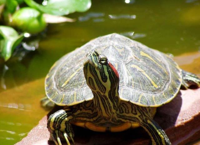為什麼巴西龜不可以放生? - 每日頭條