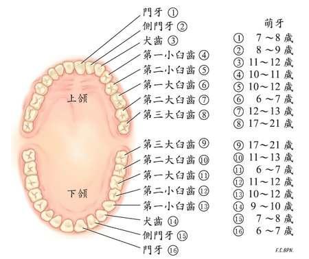 乳牙和恆牙有什麼區別 - 每日頭條