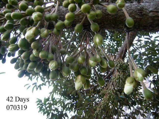 榴槤神奇的生長全過程。果實長到3個月時進入成熟期 - 每日頭條