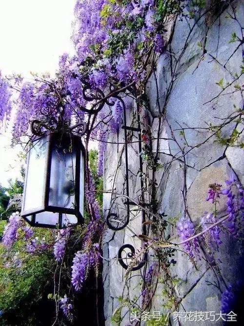 145歲的紫藤樹,堪稱全世界最美的樹,你被迷倒了嗎? - 每日頭條