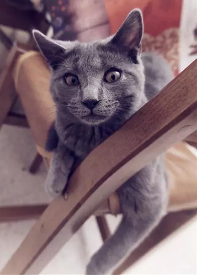 什麼品種的貓咪智商更高?第一名你猜到了嗎? - 每日頭條