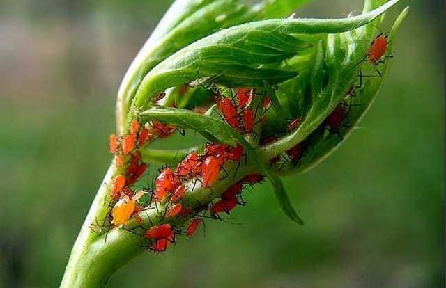 蚜蟲怎麼治才好 防治蚜蟲的三種有效方法 - 每日頭條