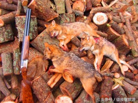 澳大利亞「野味」泛濫成災 當地政府號召全民獵殺 - 每日頭條