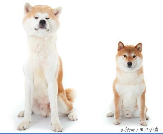 秋田犬柴犬分不清楚?教你如何區分買到自己滿意的狗狗。 - 每日頭條