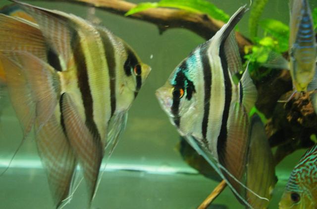 大雲兒盤點寵物魚之「埃及神仙」 - 每日頭條