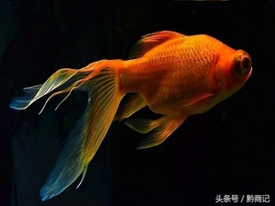 鮮為人知的這些魚對家居有哪些影響?連外國魚都在裡邊呢! - 每日頭條