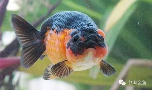 國粹金魚品種介紹之:蘭壽金魚(多圖) - 每日頭條
