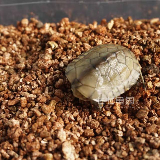 小烏龜剛出生不注意這些要點。危在旦夕!!!小烏龜護理要點 - 每日頭條
