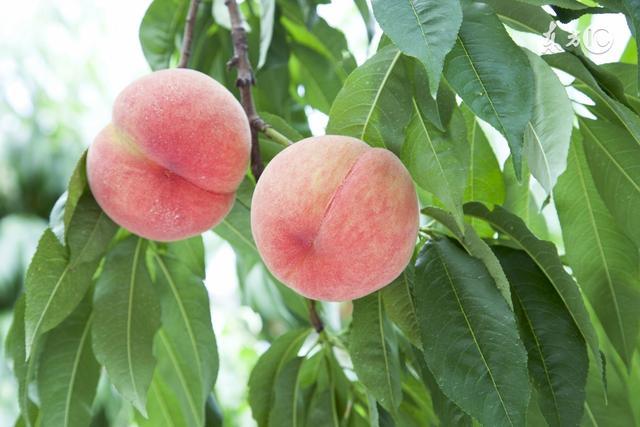 桃子雖好,但不能亂吃!不健康的吃桃子後果不堪設想! - 每日頭條