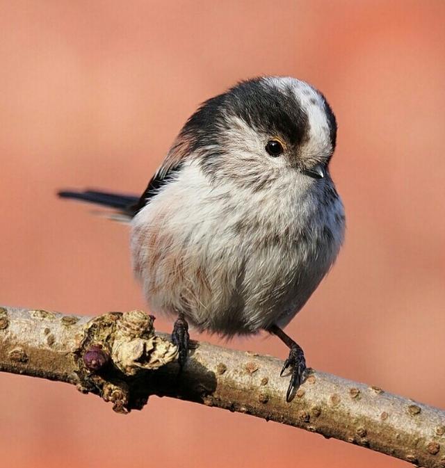 銀喉長尾山雀 - 每日頭條