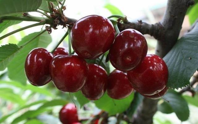 哺乳期能吃櫻桃嗎?哺乳期吃櫻桃寶寶會上火嗎? - 每日頭條