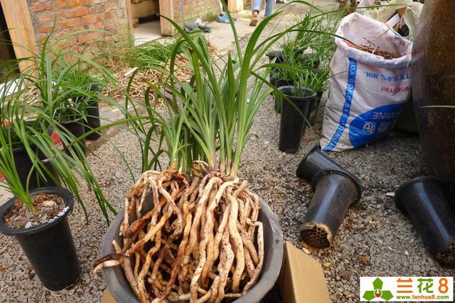 蘭花一年四季的澆水方法 - 每日頭條