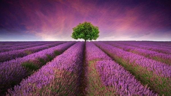 普羅旺斯美到極致的薰衣草花期圖片 - 每日頭條