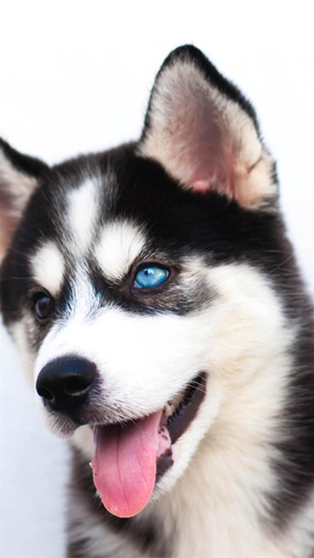 雪橇犬哈士奇高清手機壁紙 - 每日頭條