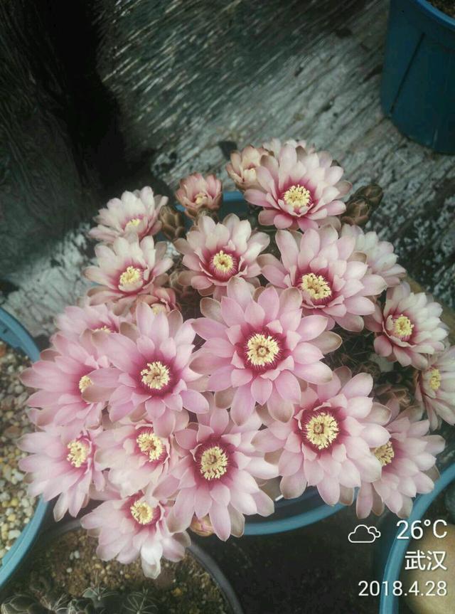 花期最長的仙人球,一年多次開花,球形端莊,開花美麗,還很好養 - 每日頭條