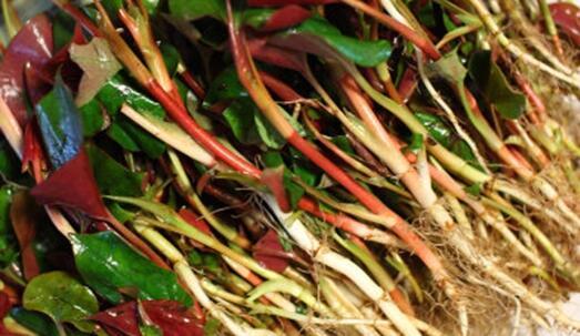 魚腥草吃多了對人體有害處嗎 魚腥草吃多了會中毒嗎 - 每日頭條