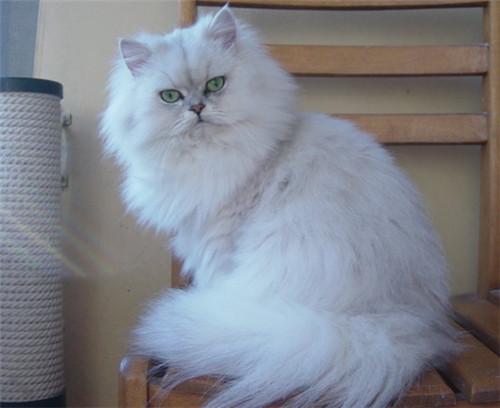 什麼貓最粘人?盤點最粘人的貓咪。看看有沒有你家主子 - 每日頭條